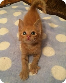 Domestic Shorthair Kitten for adoption in Tampa, Florida - Brandon