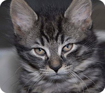 Domestic Mediumhair Kitten for adoption in Hastings, Minnesota - Thor