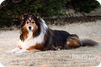 Sheltie, Shetland Sheepdog Mix Dog for adoption in Huntsville, Alabama - Precious