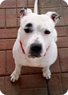 American Bulldog/American Staffordshire Terrier Mix Dog for adoption in Leesburg, Virginia - Precious- kids!