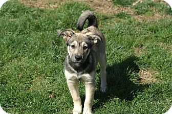 Norwegian Elkhound/Labrador Retriever Mix Puppy for adoption in Baltimore, Maryland - Kimmie