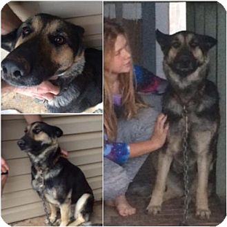 German Shepherd Dog Dog for adoption in Garber, Oklahoma - Sheba