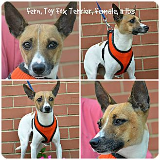 Toy Fox Terrier Mix Dog for adoption in Siler City, North Carolina - Fern