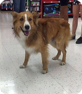 Border Collie Mix Dog for adoption in Mesa, Arizona - Cooper 4 yr Boarder Collie