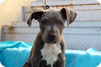 Pit Bull Terrier Mix Puppy for adoption in Los Angeles, California - Silver Bullet