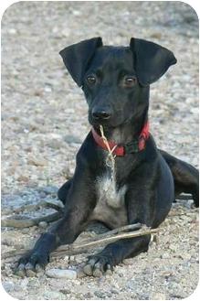 Italian Greyhound Mix Dog for adoption in Thatcher, Arizona - Zoe Italian Greyhound mix
