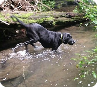 Labrador Retriever Dog for adoption in Normandy, Tennessee - Lady