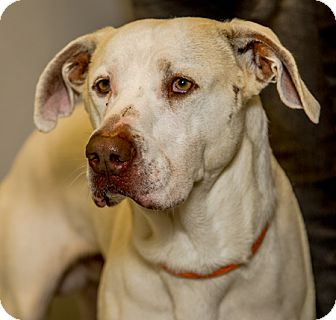 Shepherd (Unknown Type)/Labrador Retriever Mix Dog for adoption in Martinsville, Indiana - Dodger