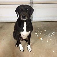 Adopt A Pet :: Mickey, loyal companion - Sacramento, CA