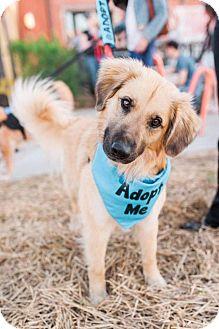 Golden Retriever/Labrador Retriever Mix Dog for adoption in Charlotte, North Carolina - Walter