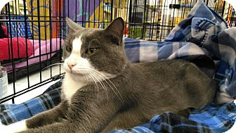 Domestic Shorthair Cat for adoption in Houston, Texas - Mel