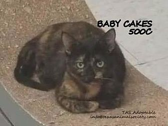 Domestic Shorthair Cat for adoption in Spring, Texas - Baby Cakes