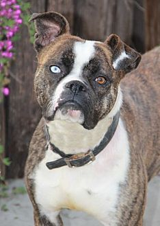 Boxer Dog for adoption in Fremont, California - Zoey II (CP)
