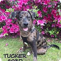 Adopt A Pet :: Tucker - Spring, TX
