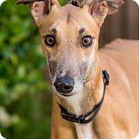 Adopt A Pet :: Whosyo - Walnut Creek, CA
