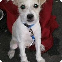 Terrier (Unknown Type, Small)/Jack Russell Terrier Mix Puppy for adoption in Scottsdale, Arizona - Starlord