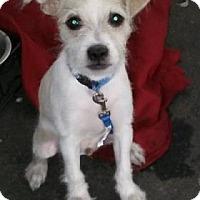Adopt A Pet :: Starlord - Scottsdale, AZ