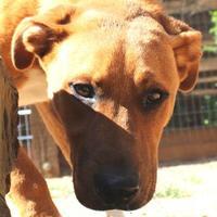 Labrador Retriever Mix Dog for adoption in Houston, Texas - CHICO