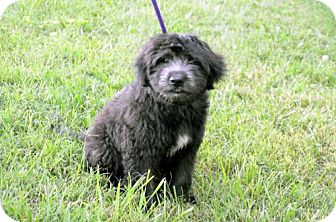 Labrador Retriever/Poodle (Standard) Mix Puppy for adoption in Sussex, New Jersey - PUPPY BENZ