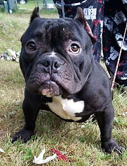 English Bulldog/French Bulldog Mix Dog for adoption in Akron, Ohio - Jackson ADOPTED