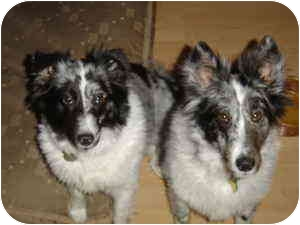 Sheltie, Shetland Sheepdog Dog for adoption in San Diego, California - Patch & Cosmo
