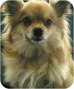 Pomeranian Dog for adoption in House Springs, Missouri - Katie