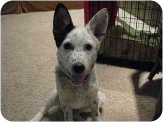 Australian Cattle Dog Mix Dog for adoption in Phoenix, Arizona - Conner