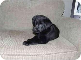 Labrador Retriever Mix Puppy for adoption in Ile-Perrot, Quebec - NIBBLES