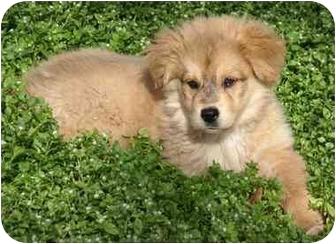 Golden Retriever/Australian Shepherd Mix Puppy for adoption in Houston, Texas - Annie