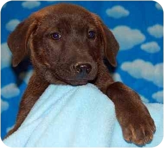 Retriever (Unknown Type)/Labrador Retriever Mix Puppy for adoption in Broomfield, Colorado - Sgt. Pepper
