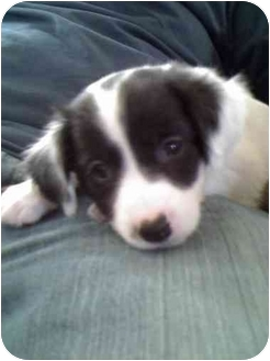 Jack Russell Terrier Mix Puppy for adoption in Worcester, Massachusetts - Lulu