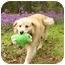 Photo 2 - Golden Retriever/Chow Chow Mix Dog for adoption in Mocksville, North Carolina - Casey