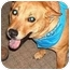 Photo 3 - Finnish Spitz/Shiba Inu Mix Dog for adoption in Powell, Ohio - Kaya