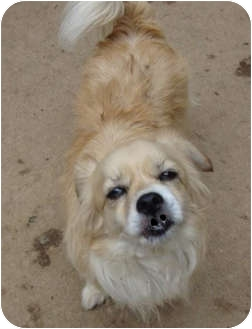 Pomeranian/Lhasa Apso Mix Dog for adoption in Leesport, Pennsylvania - Willow is as cute as a button!