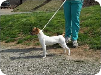 Jack Russell Terrier Mix Dog for adoption in Sparta, North Carolina - Pippen