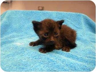 Domestic Shorthair Kitten for adoption in Gainesville, Florida - Treyvon
