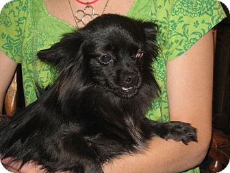 Chihuahua Mix Dog for adoption in Greenville, Rhode Island - Maribel