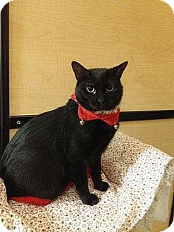 Domestic Shorthair Cat for adoption in East Stroudsburg, Pennsylvania - Fire