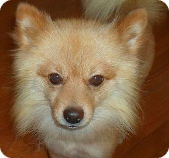 Pomeranian Dog for adoption in Washington, D.C. - Brando
