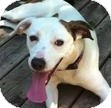 Retriever (Unknown Type)/Jack Russell Terrier Mix Dog for adoption in Minneapolis, Minnesota - Jack