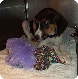 Beagle Puppy for adoption in Marietta, Georgia - BABY