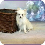 Pomeranian Puppy for adoption in conroe, Texas - Pickles