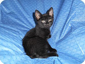 Domestic Shorthair Kitten for adoption in Richland, Michigan - Hary