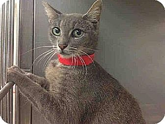 Domestic Shorthair Cat for adoption in Los Angeles, California - Berlin