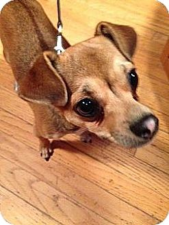 Miniature Pinscher/Chihuahua Mix Dog for adoption in Worcester, Massachusetts - Leo - Lap Dog