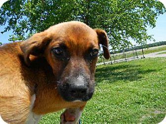 Boxer Puppy for adoption in Tyner, North Carolina - Maximus