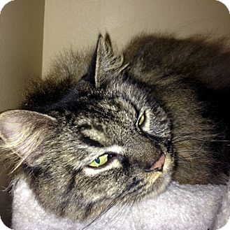 Maine Coon Cat for adoption in Las Vegas, Nevada - Mathew