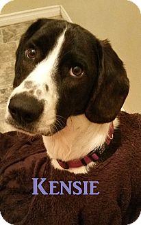 Bluetick Coonhound/Redbone Coonhound Mix Dog for adoption in Huntsville, Ontario - Kensie - Adopted - June 2015