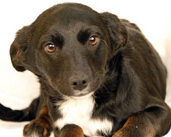 Australian Cattle Dog/Jack Russell Terrier Mix Dog for adoption in Newland, North Carolina - Ocala