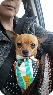 Chihuahua Dog for adoption in Woodstock, Ontario - Jorge